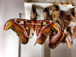 Malaysian Moth just emerged from its cocoon and spanning larger than my hand. Photo by Sarah Tracy.